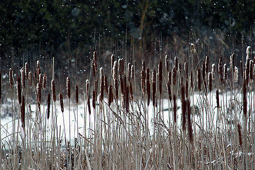 Winter cattails by Ewa Romanowicz