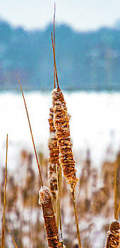 Winter Cattails by Steve Harrington
