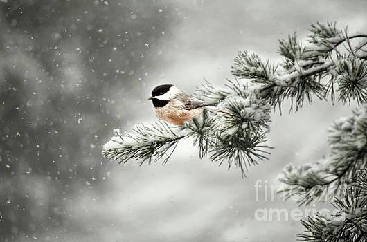 Winter Chickadee by Darren Fisher