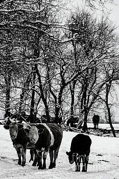 Winter Cows by Elaine Hunter
