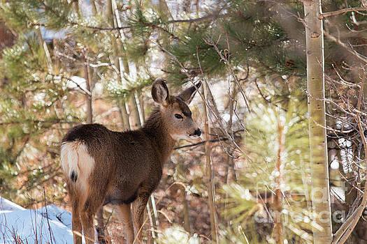 Steve Krull - Winter Deer
