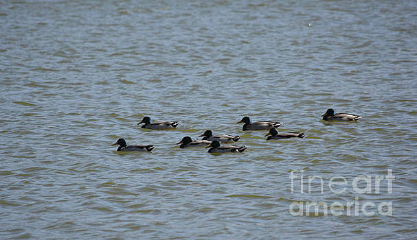 Winter Ducks Afternoon Swim by Ruth Housley