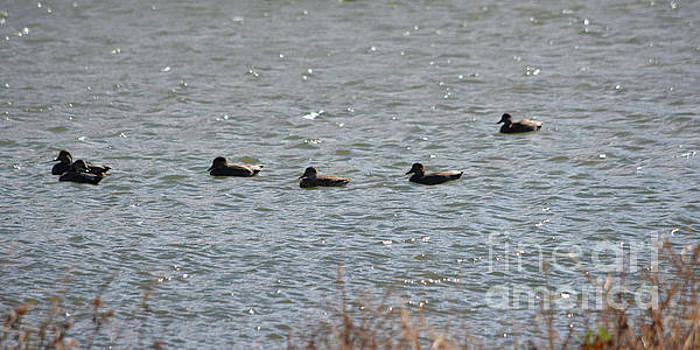 Winter Ducks Gliding On The Lake by Ruth Housley