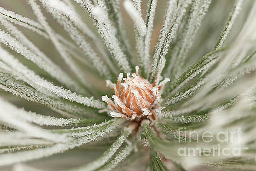 Winter Evergreen by Ana V Ramirez