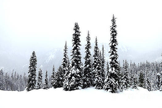 Winter Firs by Tanya Searcy