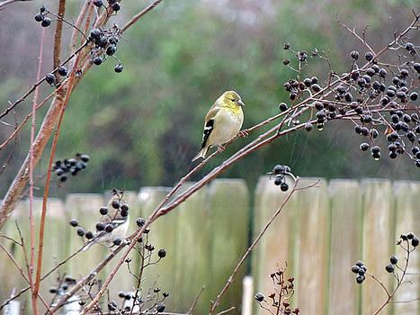 Jayne Wilson - Winter Goldfinch in the Rain