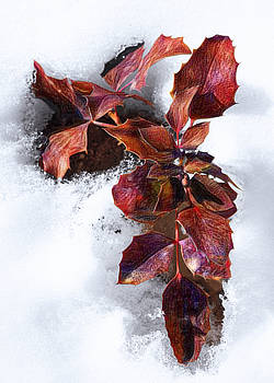 Winter Holly by Crista Smyth