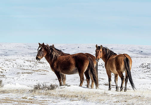Winter in Sand Wash Basin - Wild Mustangs by Nadja Rider