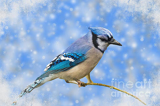 Winter Jay by Geraldine DeBoer