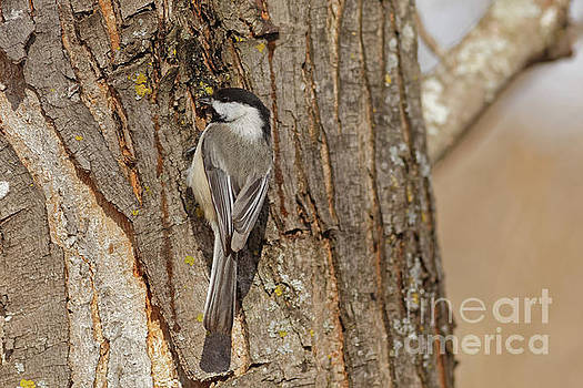 Winter Little Chickadee by Natural Focal Point Photography