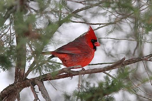 Winter Northern Cardinal by Linda Crockett