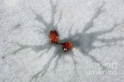 Winter Pine Cones by Juli Ellen
