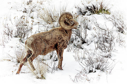 Winter Ram by Wes and Dotty Weber