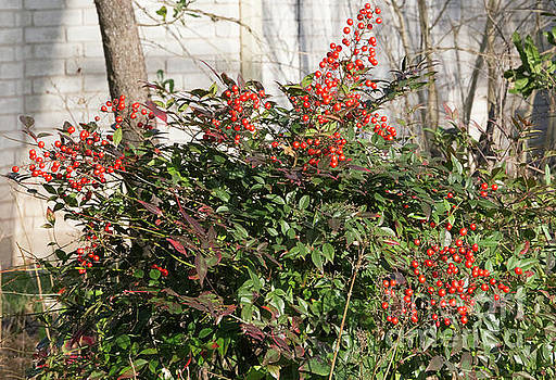 Winter Red Berries by Linda Phelps
