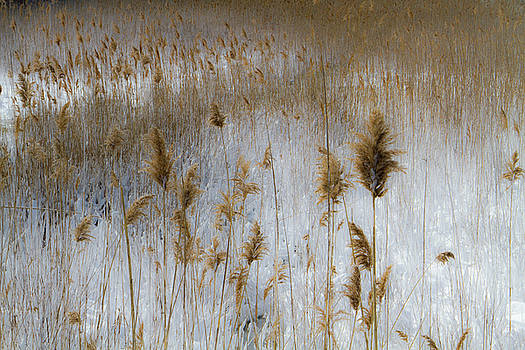 Winter Reeds I by Steven David Roberts