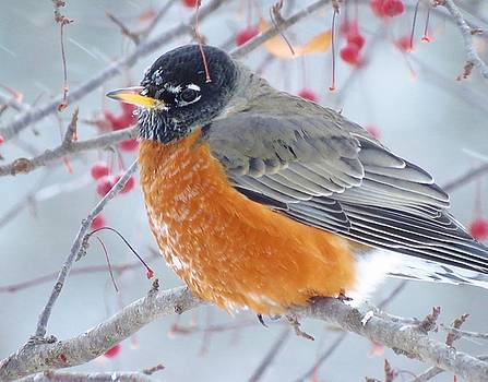 Winter Robin  by Lori Frisch