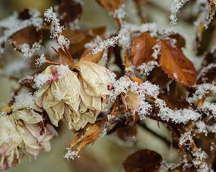 Winter Rose by Carl Nielsen