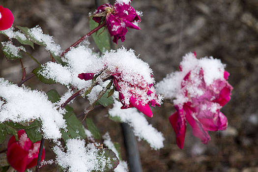 Winter Rose by Danielle Allard