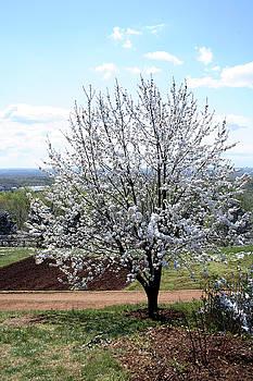 Winter Southern Cotton Tree by Reni Boisvert