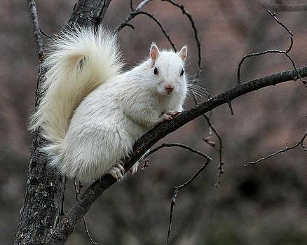 Winter Squirrel by William Selander