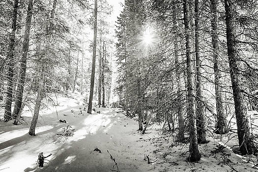 Winter Sunshine Forest Shades Of Gray by James BO Insogna