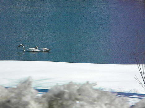 Winter Swans by Melissa Mendelson