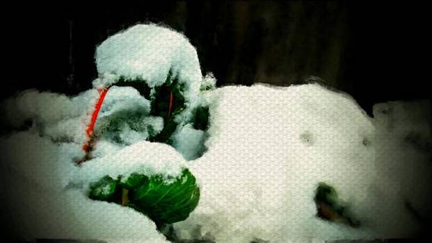 Winter Swiss chard vegetable garden covered in snow by MendyZ