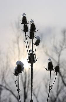 Gothicrow Images - Winter Teasels At Sunset