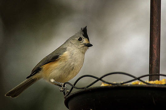 Winter Titmouse by Bob Marquis