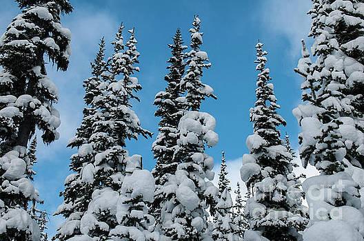 Rod Wiens - Winter Treetops
