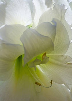 Winter White Amaryllis by Stephanie Maatta Smith