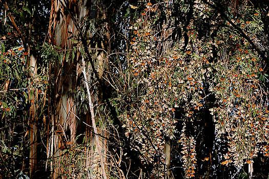 Wintering Monarchs by Grace Dillon