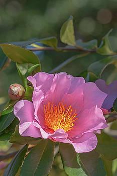 Winter's fancy hybrid camellia by Nick Kurzenko