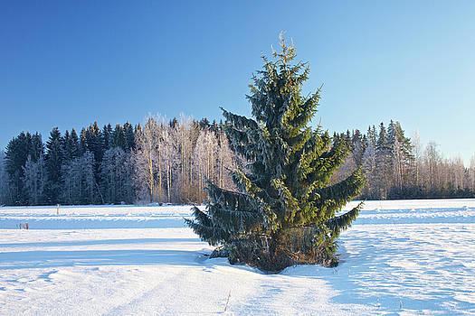 Wintry Fir Tree by Teemu Tretjakov