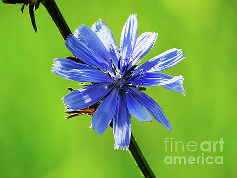 Wisconsin Blue Chicory Flower by Ron Tackett