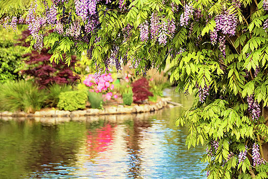 Peggy Collins - Wisteria by the Lake - Beacon Hill Park Victoria