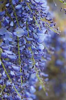 Wisteria by Claire Wilson
