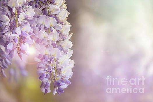 Wisteria flowers in sunlight by Jane Rix