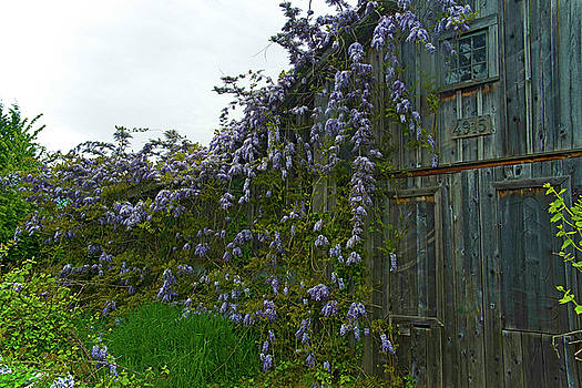 Wisteria gone wild  by Rob Mclean