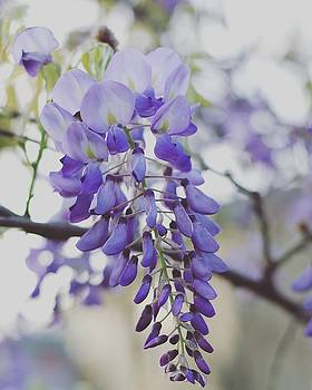 Wisteria by Lindy Brown
