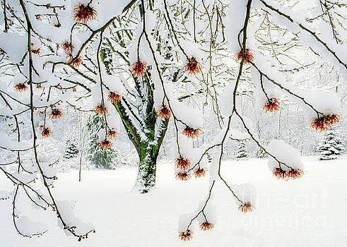 Witch Hazel Flowers in Winter by Michael Wheatley
