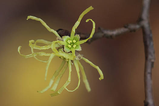 Paul Rebmann - Witchhazel