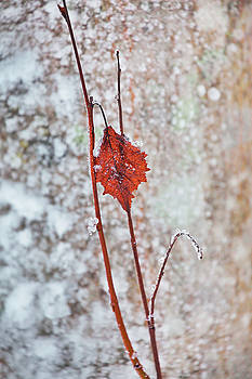 Withered red leaf in front of a frost covered tree by Ulrich Kunst And Bettina Scheidulin