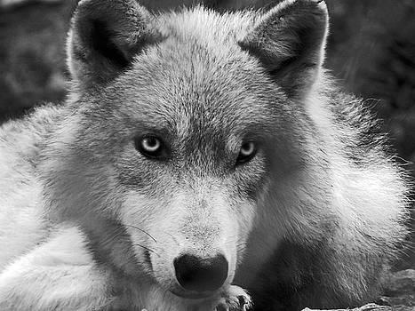 Wolf 1 by Jamie Johnson