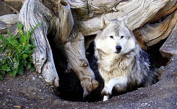 Marty Koch - Wolf Den 1