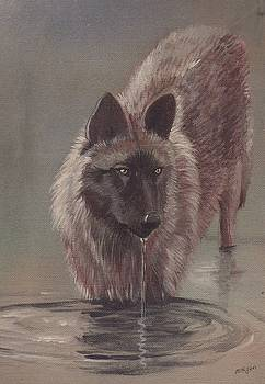 Wolf Drinking by Morgan Fitzsimons