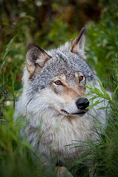 Wolf in the grass by Yngve Alexandersson