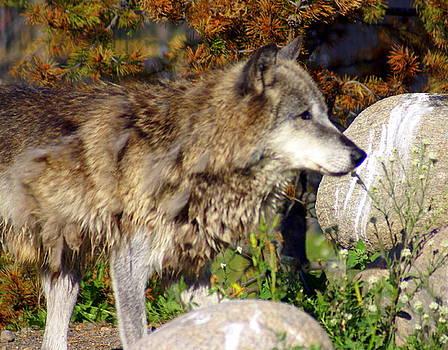 Marty Koch - Wolf on Patorl