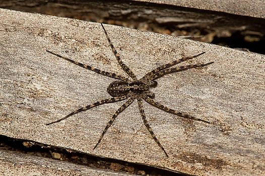 Wolf spider by Jouko Mikkola