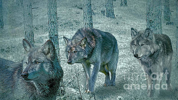 Wolf Trio by Brian Tarr